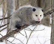 180px-opossum_2
